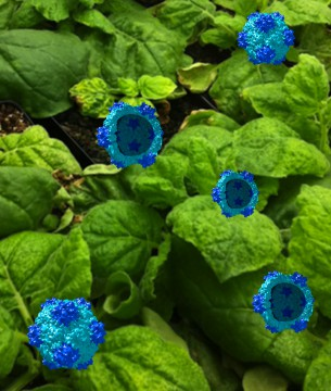 Cowpea mosaic virus particles (in blue) and Nicotiana benthamiana (or tobacco) plants - the production machinery (plants) of the cowpea mosaic virus (blue). Image courtesy of Case Western Reserve.