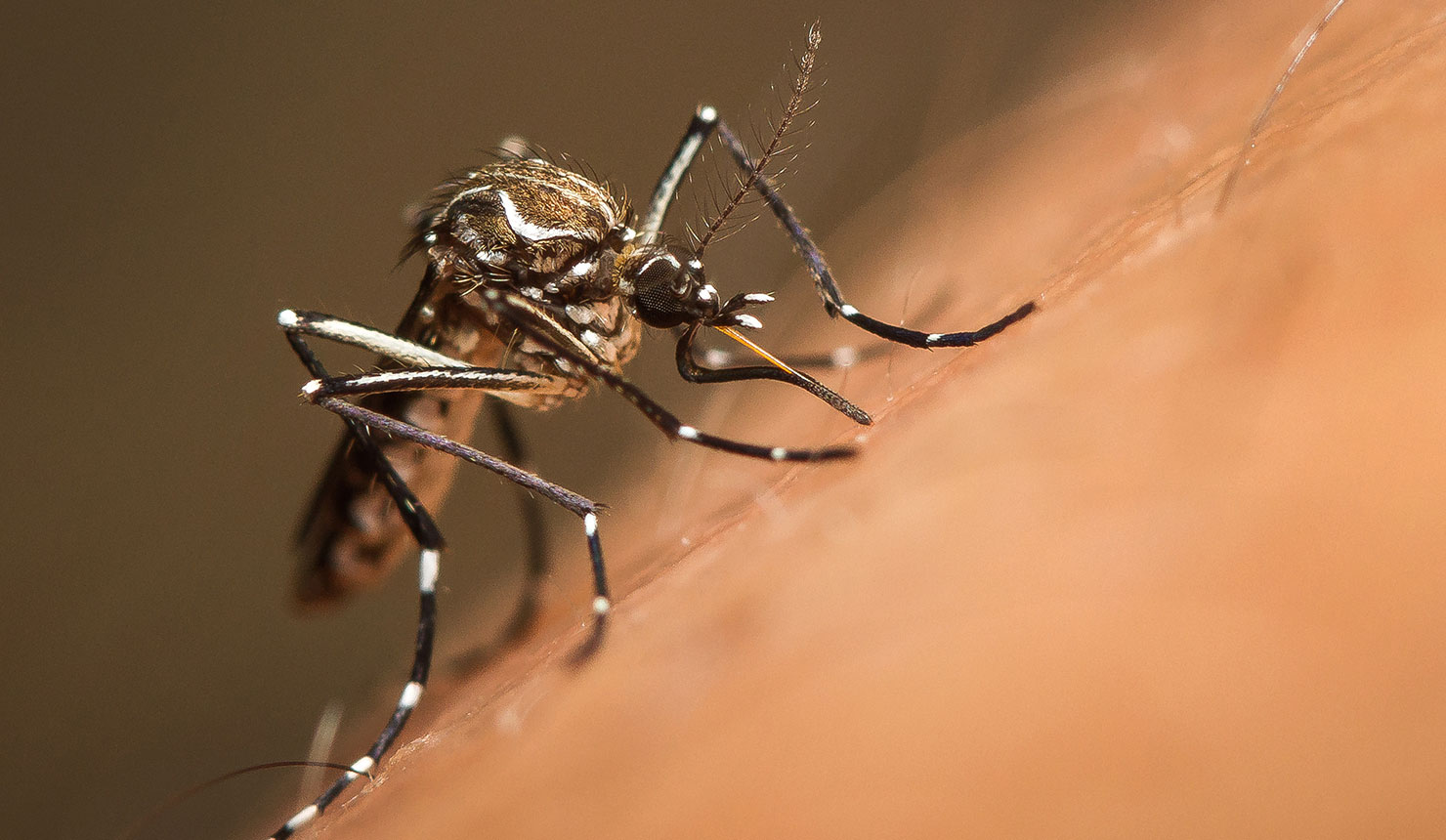 Zika virus is primarily transmitted to people through the bite of an infected mosquito from the Aedes genus, mainly Aedes aegypti in tropical regions. (World Health Organization, photo: Shutterstock)