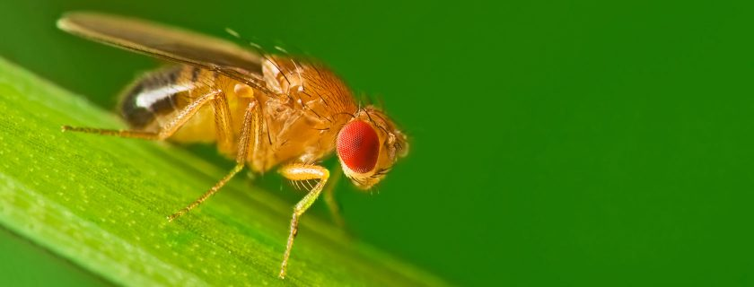 Drosophila melanogaster (Photo: Shutterstock)